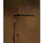 Baclit_Dragonfly_03