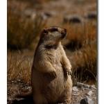 Marmot_Standing_Ladakh