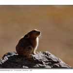 PlateauPika_Backlit_Ladakh