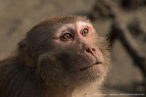 Overcurious macaque at Sundarbans