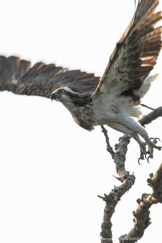 Osprey taking off at Sundarbans