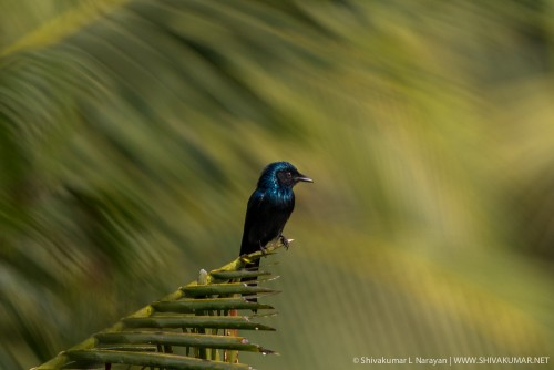 Bronzed Drongo at Sundarbans