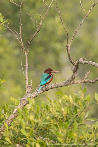 White Throated Kingfisher at Sundarbans